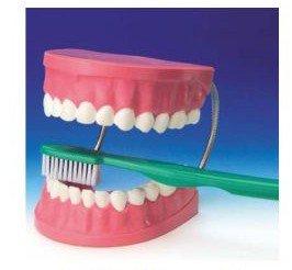 Büyük Diş Maketi